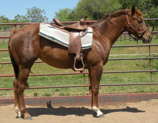 2008 foals>meradas pick six rt saddle.jpg
