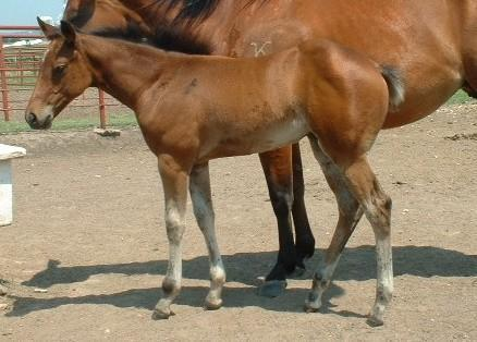 Horse>Uno 2005 filly